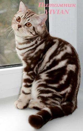 Купить котенка купить кошку Продажа котят и кошек